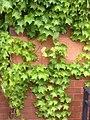 Anheuser Busch Beer Depot Ivy Pattern 2.jpg