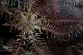 Annametra occidentalis.jpg