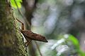 Anolis sp., El Yunque National Forest, Puerto Rico by Geoff Gallice - 001.jpg