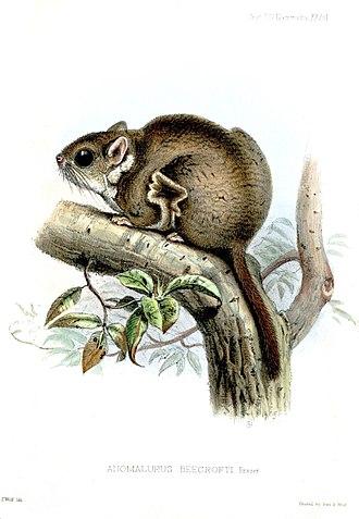 Anomalurus - Anomalurus beecrofti