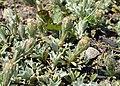 Antennaria dioica kz03.jpg
