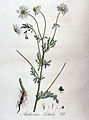 Anthemis cotula — Flora Batava — Volume v4.jpg