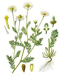 Anthemis cotula - Köhler–s Medizinal-Pflanzen-160