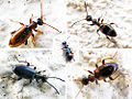 Anthicidae Ant-like beetles.jpg