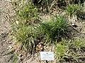 Anthoxanthum odoratum - Botanischer Garten München-Nymphenburg - DSC07890.JPG