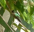 Antillean Crested Hummingbird. Orthorhyncus cristatus. Female - Flickr - gailhampshire.jpg