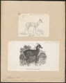 Antilope quadricornis - 1700-1880 - Print - Iconographia Zoologica - Special Collections University of Amsterdam - UBA01 IZ21400231.tif