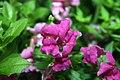 Antirrhinum majus Solstice Lavender 2zz.jpg
