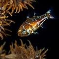 Apogonidae sp. (29552408954).jpg