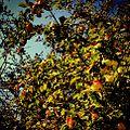 Applez (8399553881).jpg