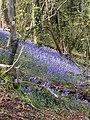 April , hillside near Hambledon - geograph.org.uk - 437536.jpg
