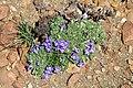 Aptosimum procumbens (Scrophulariaceae) (4629557952).jpg