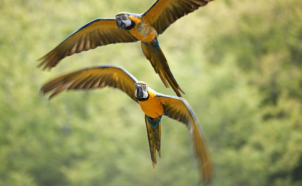 Blue-and-yellow Macaws flying at Pont-Scorff Zoo, Morbihan, Brittany, France.