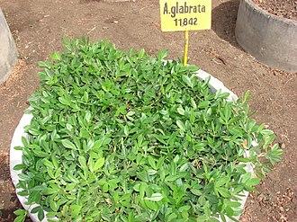 Arachis - Arachis glabrata
