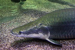 Arapaima gigas at sea world.JPG