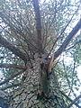 Arbre (Cèdre de l'Atlas) parc national de Belezma 2.jpg