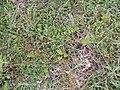 Arenaria serpyllifolia L. (AM AK328564-1).jpg
