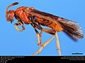 Argid sawfly (Argidae, Arge spiculata (MacGillivray)) (36363627110).jpg