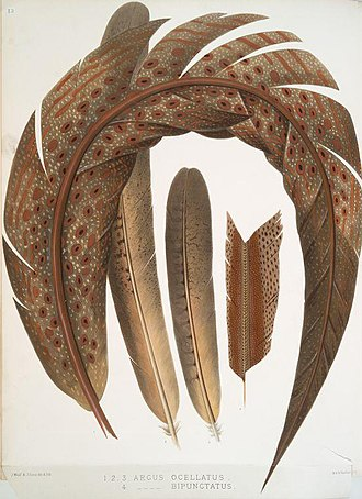 Great argus - Feathers of Argus ocellatus (synonym for the crested argus Rheinardia ocellata) and Argus bipunctatus (fourth)