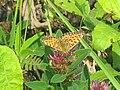 Argynnis aglaja - Dark green fritillary - Перламутровка аглая (40430522564).jpg