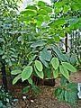 Aristolochia tricaudata Palmengarten Frankfurt (Main).jpg