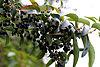 Aristotelia chilensis - Fruits