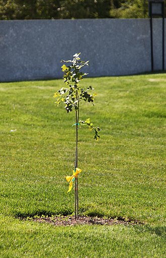 John F. Kennedy Eternal Flame - Replacement sapling of the Arlington Oak, planted in April 2012 at the Kennedy grave site.