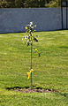 Arlington Oak sapling - official replacement tree - Arlington National Cemetery - 2012-05-19.jpg