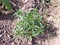 Artemisia dracunculus - 1001.jpg