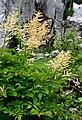 Aruncus dioicus ENBLA02.jpg