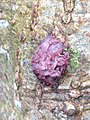 Ascocoryne sarcoides 110934509.jpg
