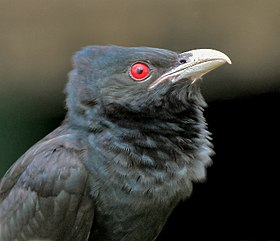 Asian Koel (Eudynamys scolopacea)- Male close up in Kolkata I IMG 7568.jpg