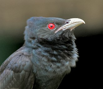 Asian koel - Adult male of nominate race (West Bengal, India) showing the crimson iris. Young birds have dark irides.