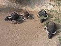 Asian water buffalo herd at the zoo.jpg