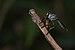 Asilidae-Kadavoor-2016-04-12-002.jpg