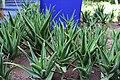 Asparagales - Aloe vera - 1.jpg