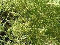 Asparagus acutifolius.jpg