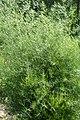 Asparagus dauricus kz01.jpg