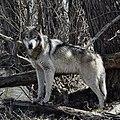 Aspen, Male Gray Wolf, Wolf Park (51096700265).jpg
