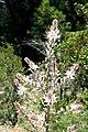 Asphodelus albus JPG1.jpg