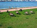 Assumption Park - Real geese among the sculpture.jpg