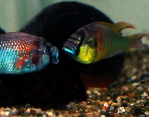Astatotilapia burtoni - Two males dispute a territorial boundary