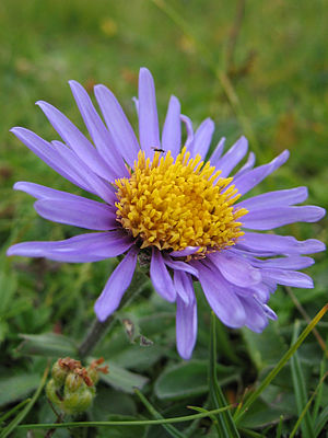 Aster alpinus - A. alpinus attracts an insect to it and it is sucking nectar.