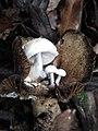 Asterophora lycoperdoides (Bull.) Ditmar 471002.jpg