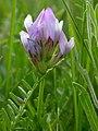 Astragalus agrestis (3310755693).jpg