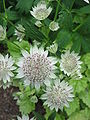 Astrantia major03.jpg