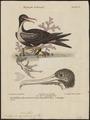 Atagen minor - 1700-1880 - Print - Iconographia Zoologica - Special Collections University of Amsterdam - UBA01 IZ18000199.tif