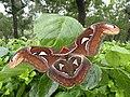 Atlas moth AJTJohnsingh DSCN3371.jpg