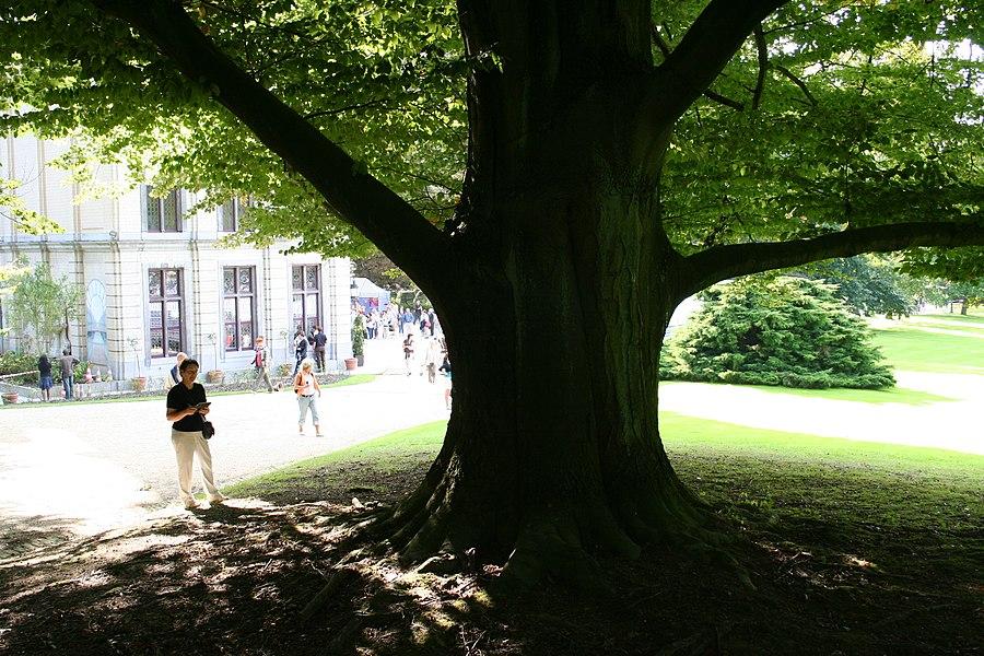 Auderghem (Belgique), parc du château de l'ancien prieuré de Val Duchesse.   Hêtre pourpre (Fagus sylvatica Purpurea).  Circonférence mesurée en 2007: 460cm