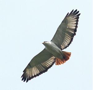 Augur buzzard - Gatamayu Forest - Kenya